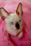 Cute sphinx cat royalty free stock photography