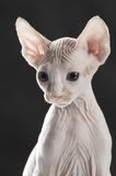 Cute sphinx kitten. On the cat house Royalty Free Stock Photo