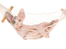 Cute Sphynx kitten in mini hammock Royalty Free Stock Images