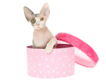 Cute Sphynx kitten in pink gift box Royalty Free Stock Photos