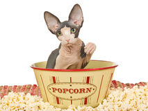 Cute Sphynx kitten in popcorn bowl Royalty Free Stock Images