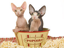 Cute Sphynx kittens in popcorn bowl Stock Photo