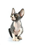 Cute sphynx portrait on white background Royalty Free Stock Photos