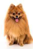 Cute spitz Stock Photos