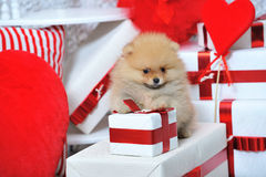 Cute spitz puppy and wrapped gift boxes Royalty Free Stock Photos