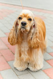 Cute sporting dog breed American Cocker Spaniel. Cute serious sporting dog breed American Cocker Spaniel  with Fawn or Golden coat standing Stock Photo