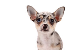 Cute spotted chihuahua Royalty Free Stock Photography