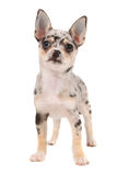 Cute spotted chihuahua Stock Photo
