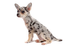 Cute spotted chihuahua Stock Image
