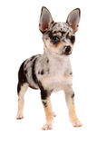 Cute spotted chihuahua Royalty Free Stock Images