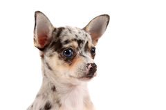 Cute spotted chihuahua Royalty Free Stock Photo