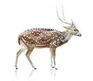 Cute spotted deer on white background Royalty Free Stock Images