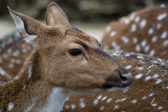 Cute spotted fallow deer. Close up animal portrait Stock Images