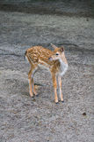 Cute spotted fallow deer isolated Stock Photography