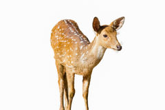 Cute spotted fallow deer isolated on white Stock Photos