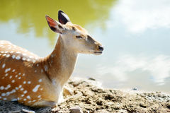 Cute spotted fallow deer Stock Photography