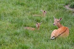 Cute spotted fallow. Photo PIcture of a Cute spotted fallow deer Royalty Free Stock Image