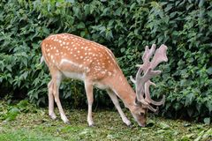 Cute spotted fallow. Photo PIcture of a Cute spotted fallow deer Royalty Free Stock Photo