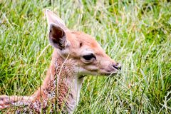 Cute spotted fallow. Photo PIcture of a Cute spotted fallow deer Stock Images