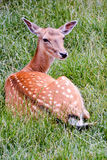 Cute spotted fallow. Photo PIcture of a Cute spotted fallow deer Royalty Free Stock Photography