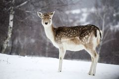 Deer in wintertime. Cute spotted  female fallow deer in the snow Stock Photography