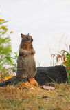 Cute Spotted Squirrel Stands Tall Royalty Free Stock Image