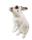 Cute spotted white rabbit stand up on white isolated looking for food Stock Photography