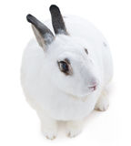 Cute spotted white rabbit on white isolate Royalty Free Stock Photos