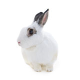 Cute spotted white rabbit on white isolate Stock Images
