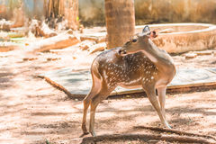 Cute spotter fallow deer try to scratching its skin Stock Photos