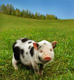 Cute spotty piglet Stock Photos