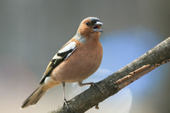 Cute spring bird Chaffinch in the Park on a branch and leaping s Royalty Free Stock Photo