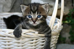 Cute spring kitty. Young little blue eyed kitty hanging over a white basket Stock Photo