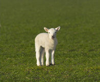 Cute spring lamb Royalty Free Stock Photo