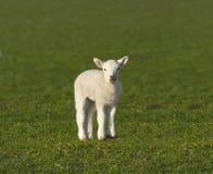 Cute spring lamb. Newborn spring lamb in green field Royalty Free Stock Photo