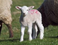Cute Spring lamb. With sheep Royalty Free Stock Image
