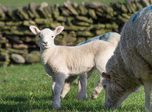 Cute Spring Lambs, West Yorkshire Stock Image