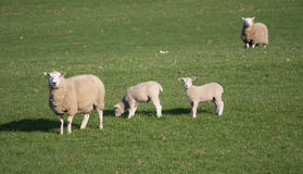 Cute Spring Lambs, West Yorkshire Royalty Free Stock Photography