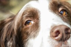 A Cute Springer Spaniel Close Up.  royalty free stock image