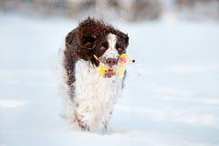 Cute springer spaniel dog runs in the snow Stock Image