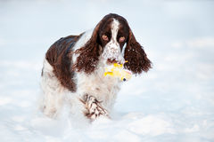 Cute springer spaniel dog runs in the snow Stock Photography