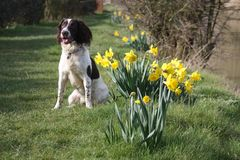 A cute springer spaniel next to some yellow daffodil flowers Stock Images