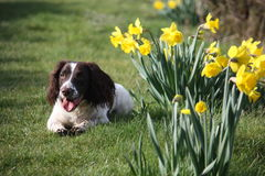 A cute springer spaniel next to some yellow daffodil flowers Stock Photo