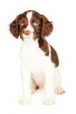 Cute Springer Spaniel Puppy Over White Stock Photos