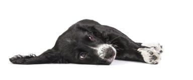 Cute spaniel puppy on the floor Stock Photos