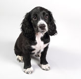 Cute sprocker spaniel puppy looking worried Stock Image