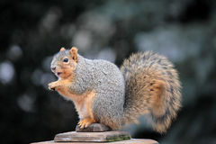Cute Squirrel. Sitting in deck post Royalty Free Stock Images