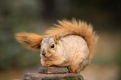 Cute Squirrel. Sitting on deck post outdoors Stock Photo