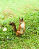 Cute squirrel Royalty Free Stock Photos