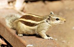 Cute squirrel Stock Photography